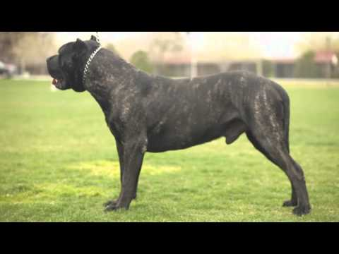 PRESA CANARIO: THE ULTIMATE K9 PROTECTOR