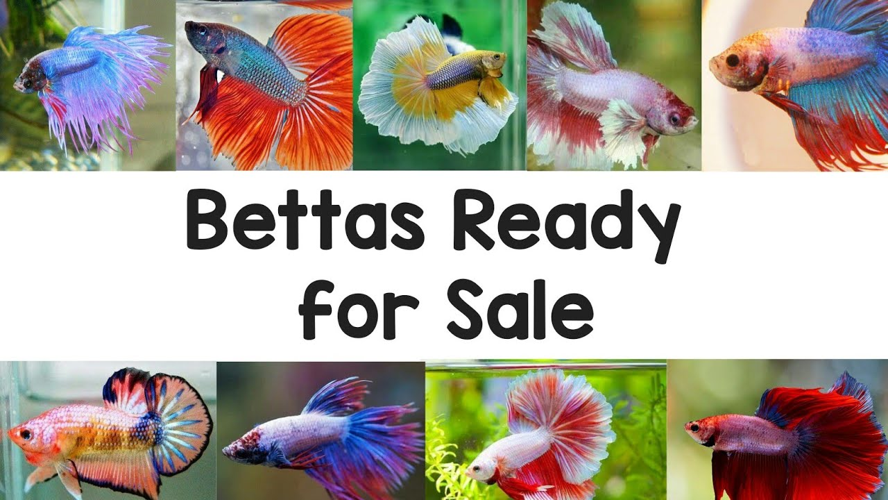 Betta fish for sale | Betta farm kerala