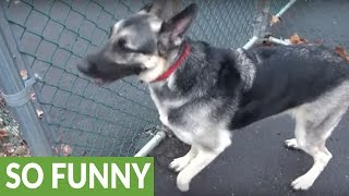 Clever German Shepherd outsmarts his human