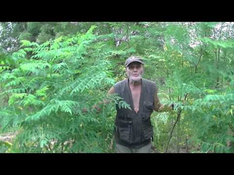 Moringa: Sowing, growing, harvesting, drying the leaves