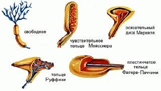 Органы равновесия, кожно-мышечной чувствительности,обоняния и вкуса.Урок биологии