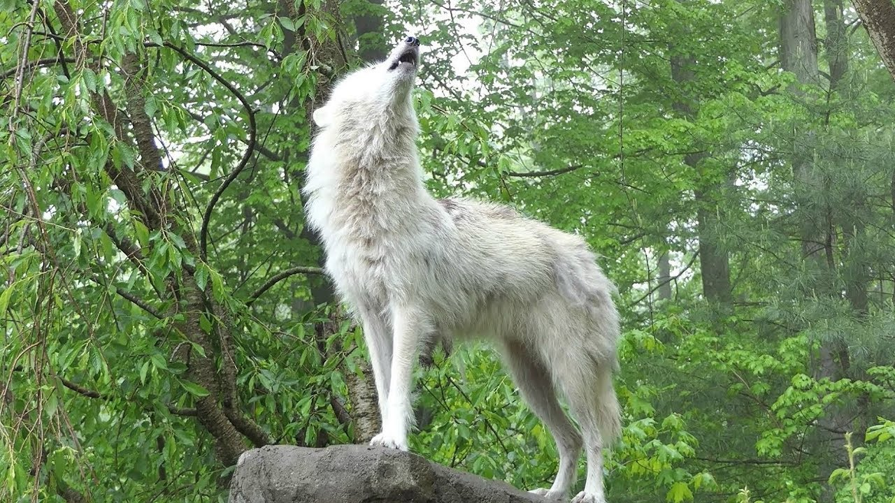 What 30 Wolves Howling Sounds Like Youtube