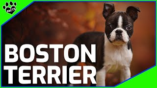 Boston Terrier Dogs 101  The American Gentleman