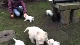 West Highland White Terrier Stendal Champion Zucht Vom Tierfreund Westie