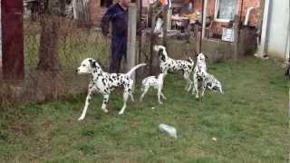 Dalmatian Puppies (croata Dals Kennel)