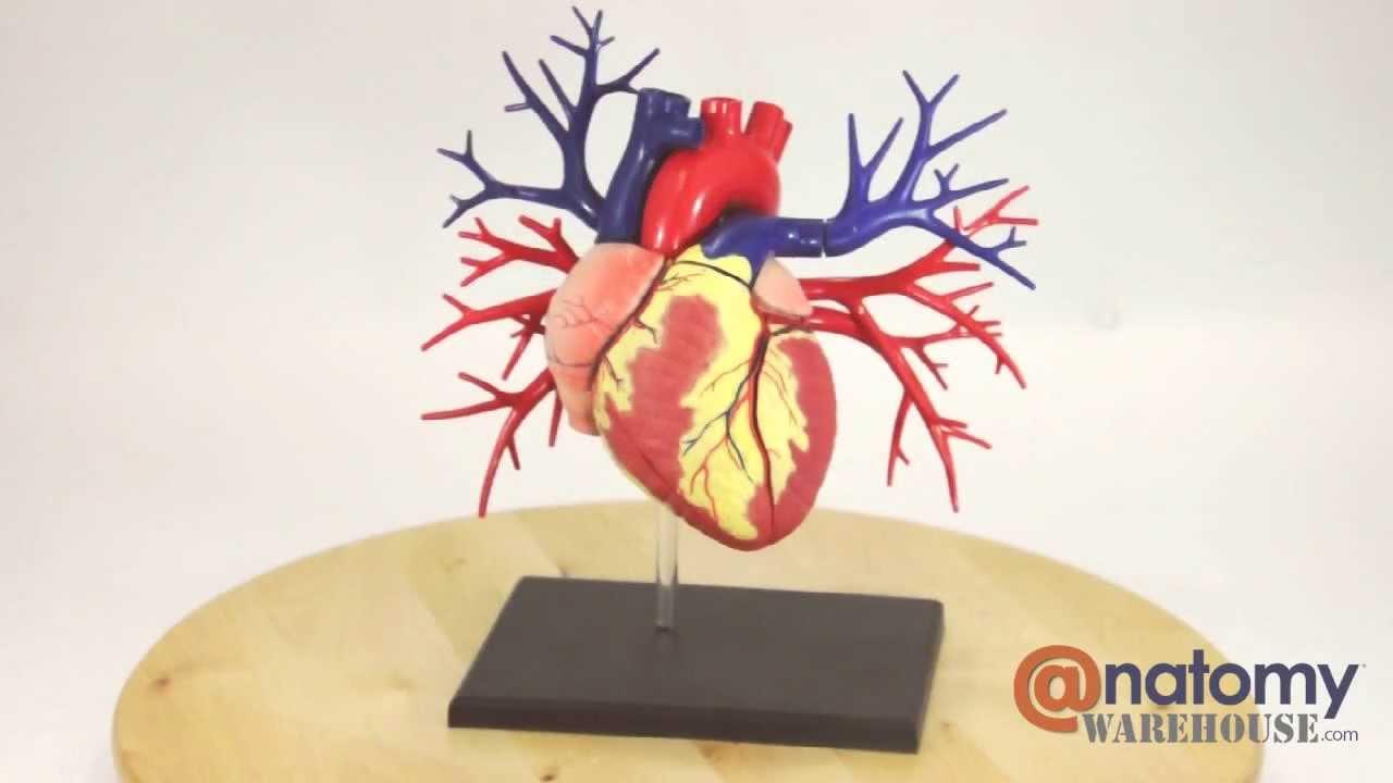 Deluxe Human Heart Anatomy Model by AnatomyWarehouse com