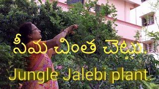 Jungle jalebi plant in grow bag.