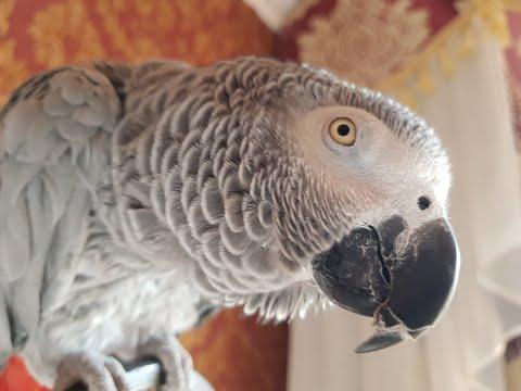 Попугай матершинник попугай Григорий привет звезда YouTube Рико попугай говорит с хозяином