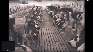 Wisconsin Veal Farm Investigation