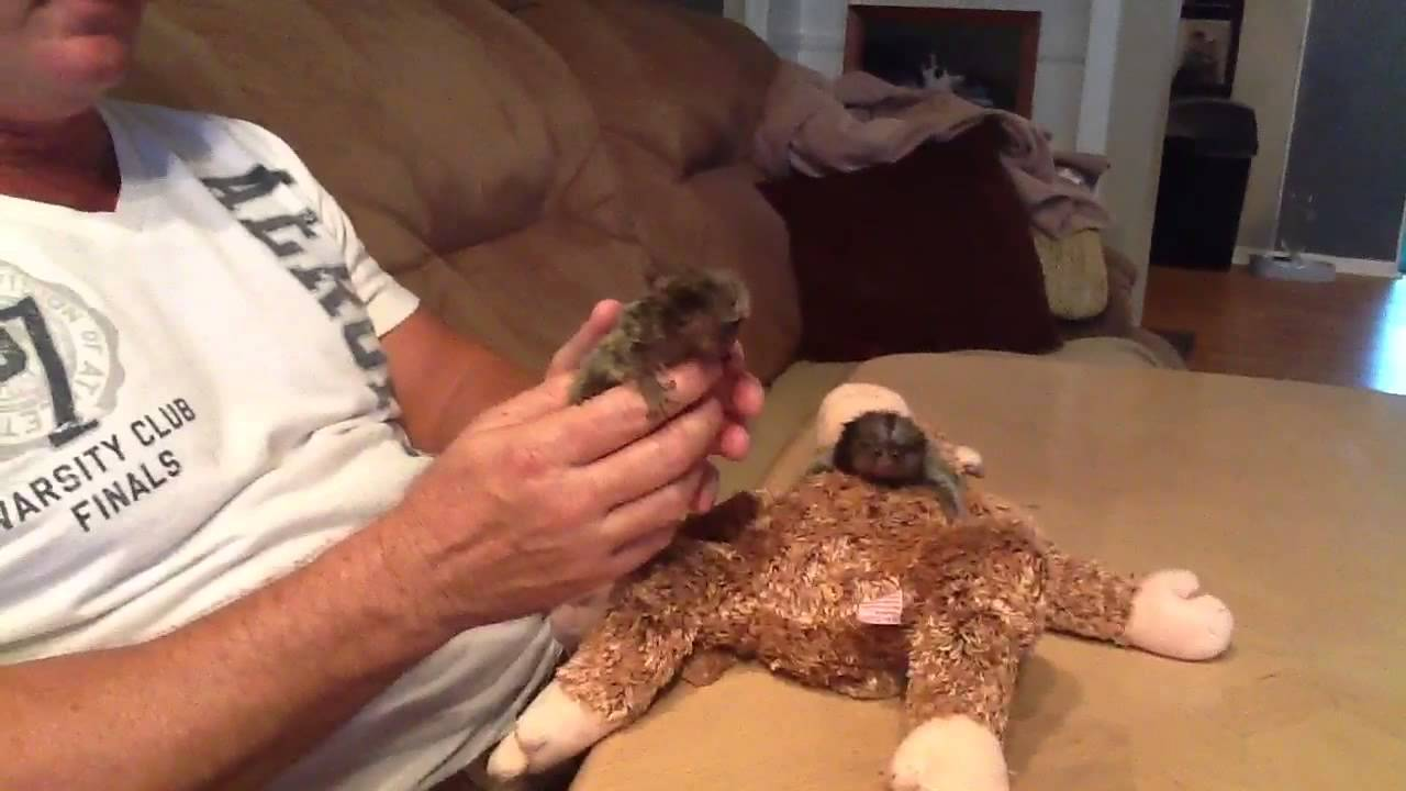Marmoset Babies For Sale Baby Marmoset Monkeys