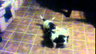 Jack Russell, Beagle, Shih Tzu Mix Puppies