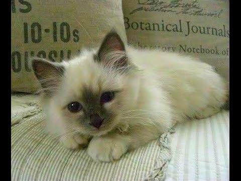 Animal Planet  :  Cats 101 ~ Birman