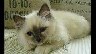 animal planet    cats 101  birman