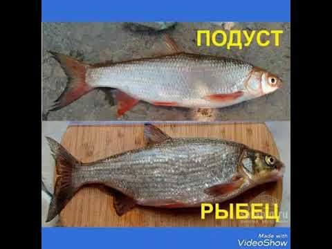 Подуст и рыбец отличие