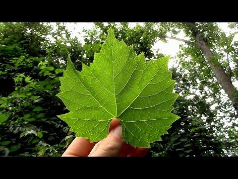 Wild Edibles- Grape Leaf Chips