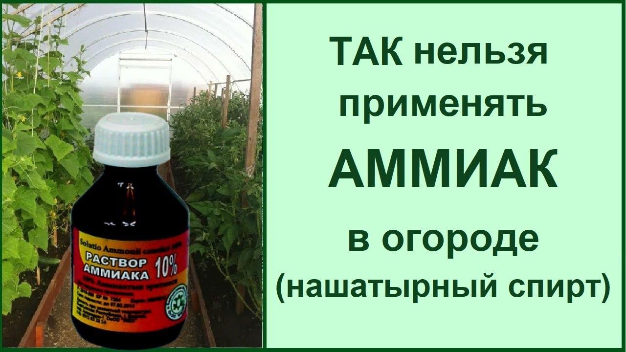Подкормка нашатырным спиртом: как нельзя делать❗ЧИТАЙТЕ ОПИСАНИЕ о вреде нашатыря для огорода