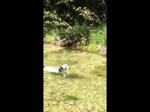 dog swimming against current