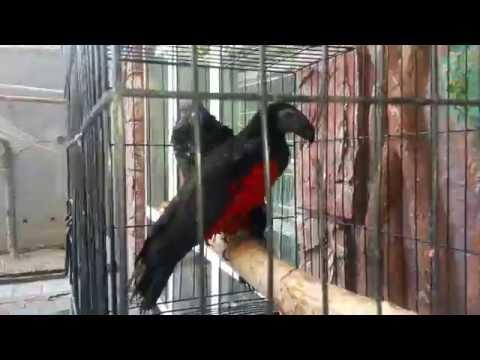 Орлиный попугай (Psittrichas fulgidus) продажа