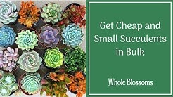 Get Cheap and Small Succulents in Bulk