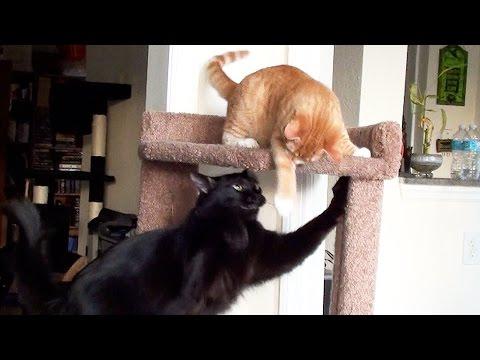 Cat vs Kitten - Cat Tree Battle!