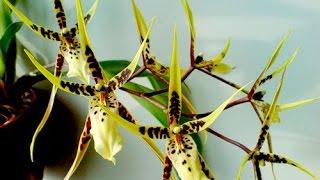 орхидея   паук(, 2016-04-26T10:28:17.000Z)