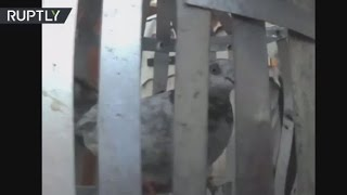 Jail Bird: Pakistani pigeon arrested on espionage charges in India