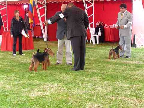 Welsh Terrier Best of Breed competition