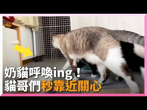聽見奶貓呼喚...貓哥哥們腳步一致湊近:怎麼了? 寵物 照顧幼貓 長輩的關心