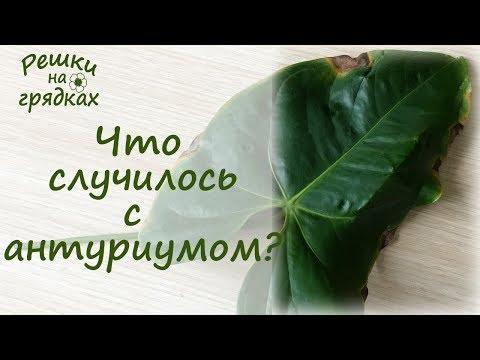 Пятна на листьях антуриума Что делать?!