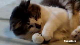 Американский бобтейл - породы кошек