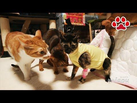 子猫が退院したが、猫達に威嚇されて凹んだ【瀬戸のらな日記】Cute kitten Lana is back, but other cats were hissing her