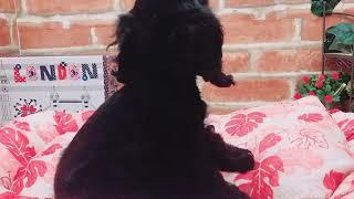 生年月日:2018/8/17 性別:メス♀ 毛色:ブラック.