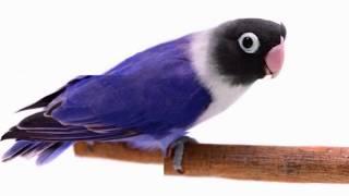 Berapa Harga Lovebird Mu ? Harga burung Lovebird Termahal  Di Indonesia Yang Lagi Ngetrend?