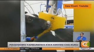 KILIMO BIASHARA   Ukulima mamboleo wa ng'ombe wa maziwa
