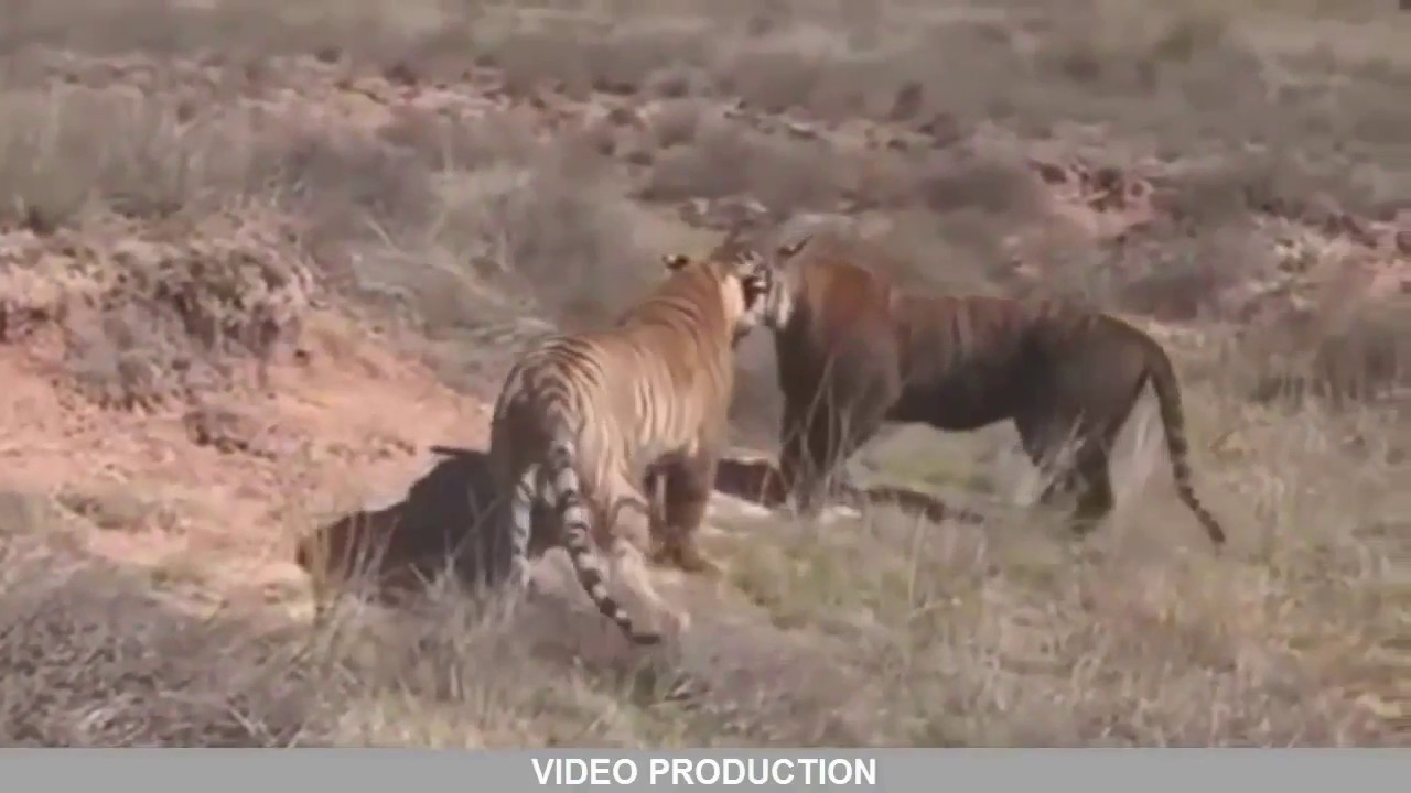 Wild Boar Attacks Human Pitbull vs wild...