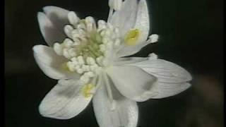 科学映像館 wild plants of japan バイカオウレンcuptis quinquefolia