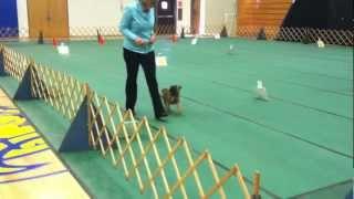 Akc Rally Novice A - Perfect Score! Brussels Griffon - Instinct Dog Training Nyc