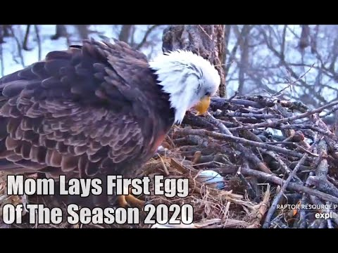 Decorah Eagles- Mom Lays First Egg Of The Season 2020!!