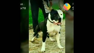 Pitbull dogs training fight /- whatsapp status only /- ohi Lalli