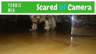 Mini Yorkie Mia Scared of Camera
