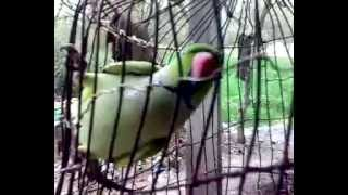 Indian Parrot Real Voice:-This Parrot Talk Like Human Being