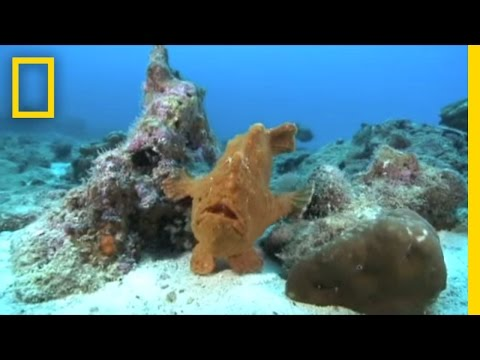 Frogfish Blues | National Geographic