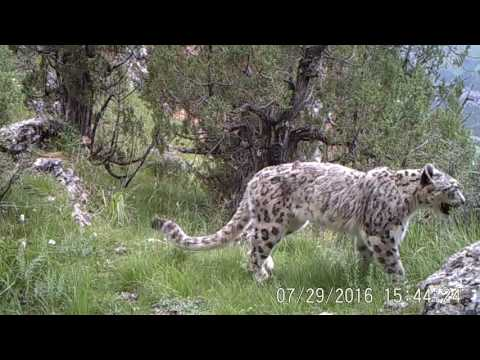 Snow Leopard and Common Leopard Sharing Habitat in China
