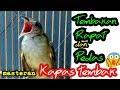 Masteran Kapas Tembak Dengan Kicaunya Yang Rapat Dan Tajam Cocok Untuk Masteran Burung Kontes  Mp3 - Mp4 Download