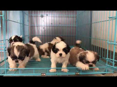 Shihtzu Pups For Sale In Bangalore ,INDIA