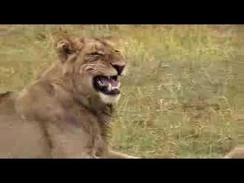 Lion bum sniff