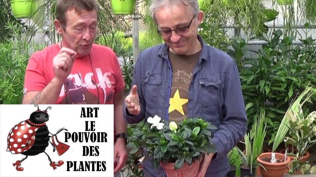 tuto jardinage: gardénia: comment le faire (fleurir) entretien et