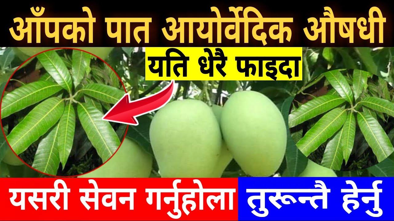 आँपको पात अति उपयोगी आयोर्वेदिक औषधी, यी ७ रोगको काल हो यो || Mango Leaves Benefits !!!
