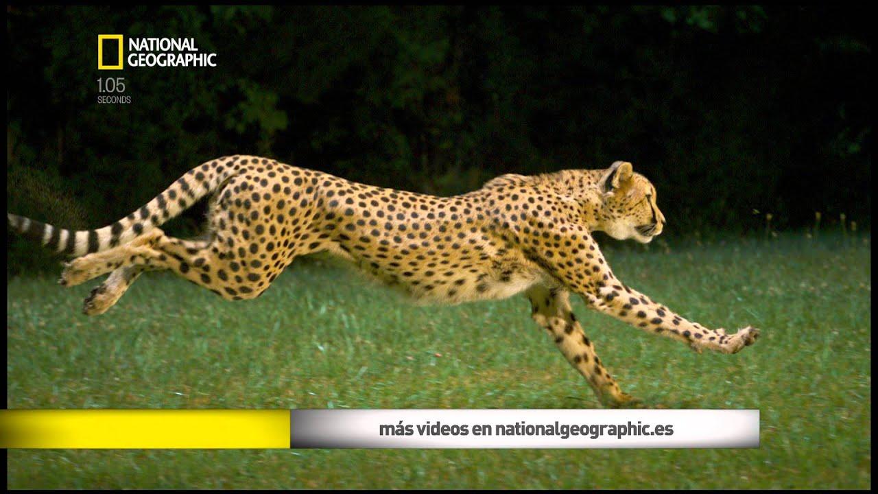 Jaguar Animal Wallpaper Guepardo Corriendo Youtube
