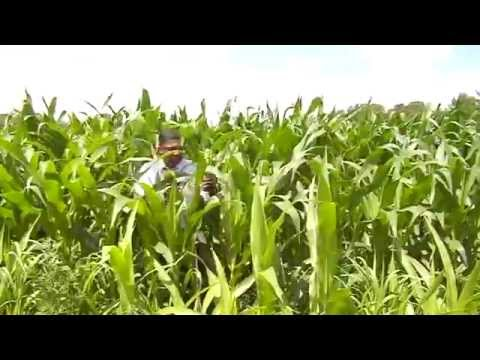 Corn crop yields mixed results